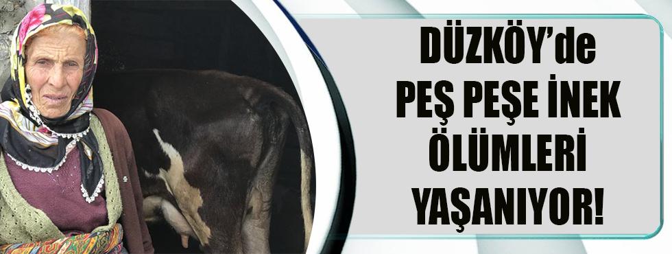 Düzköy'de Peş Peşe İnek Ölümleri Yaşanıyor!