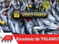 Karadeniz'de 'Palamut' Bolluğu