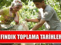 Trabzon'da Fındık Toplama Tarihleri Belirlendi.