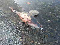 Sahiller Ölü Yunus Balıkları İle Dolu